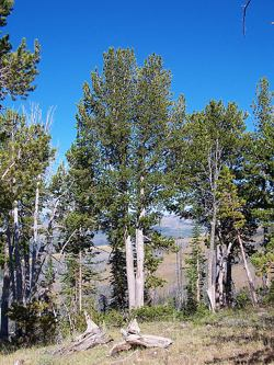 Whitebark Pine is important to the ecosystem