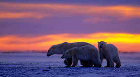 global warming and polar bears essay The recent climate conference in bonn, germany, shined a light on one of the  most certain and serious impacts we expect from unabated.