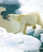 polar-bear3small