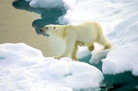 Salazar's Recent Decision: Are Polar Bear Populations Bound for Inevitable Decline?