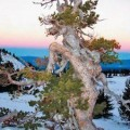 The Whitebark Pine faces possible extinction from changing climate