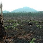Clear-cutting Indonesian rainforest for a palm oil plantation