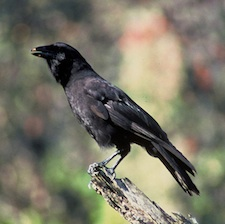 Hawaiian Crow is now extinct in the wild