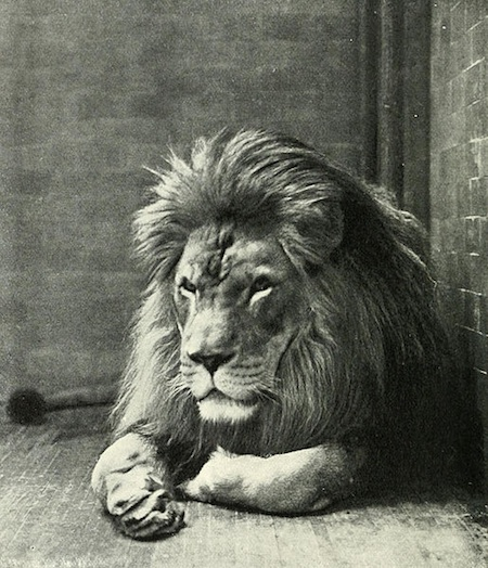 The Barbary Lion of North Africa is extinct. Are we ready for a world without any lions?