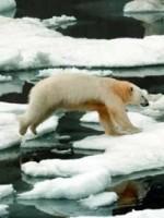 2006_seaice_polarbear