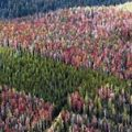 Outbreaks of the mountain pine beetle due to climate change are devastating mountain forests. Globally forests are stressed due to unsustainable management and global warming.