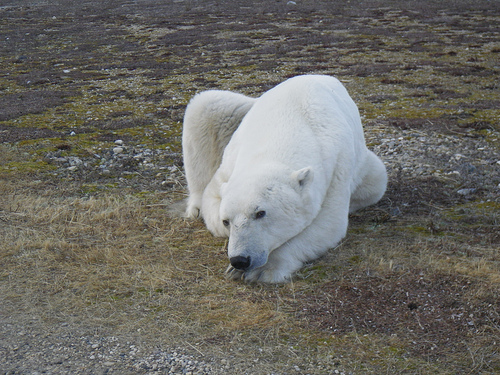 global warming effects on polar bears essay