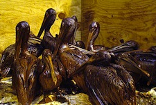 These oiled birds in the Gulf of Mexico are a very small example of the disastrous consequences of what now appears to be gross, willful, and criminal negligence and cover-up from BP