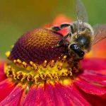 pollinatingbee