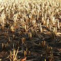 drought-field