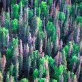 Forests devastated by pine beetle infestation may not release the huge flux of carbon as once feared