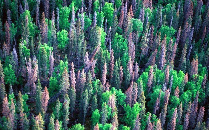 Alberta Adopts Low-Tech Approach to Managing Pine Beetle Infestation