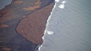 35,000 Walruses are forced ashore because there is no sea ice