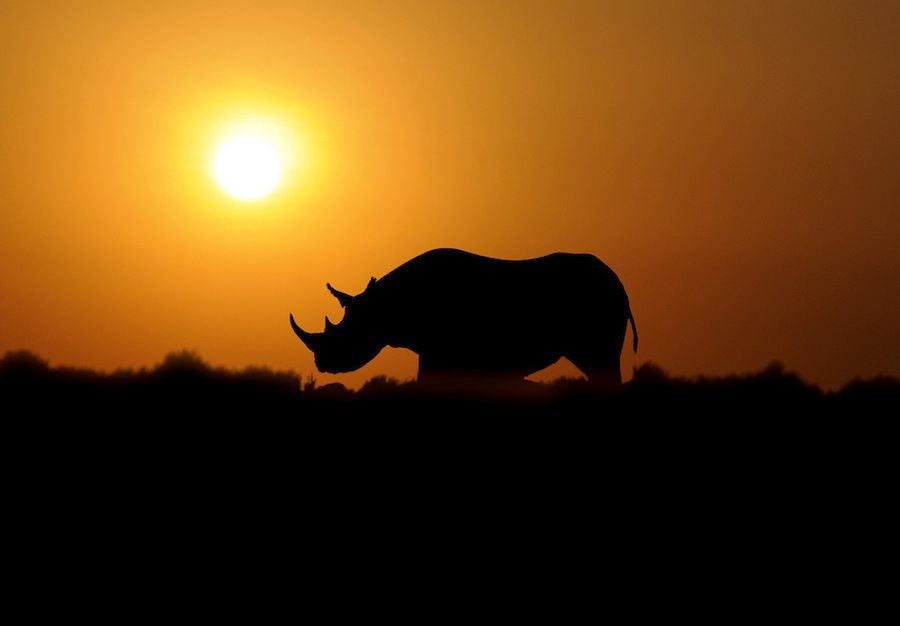 The Black Rhino faces an uncertain future as one of the species critically endangered in the sixth great mass extinction