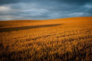 Studies show a link between global warming and reduced nutritional value of some grains