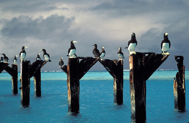 Brown boobies stake out positions atop the posts of an old pier at Johnston Atoll National Wildlife Refuge in the Pacific. (Lindsey Hayes/USFWS)