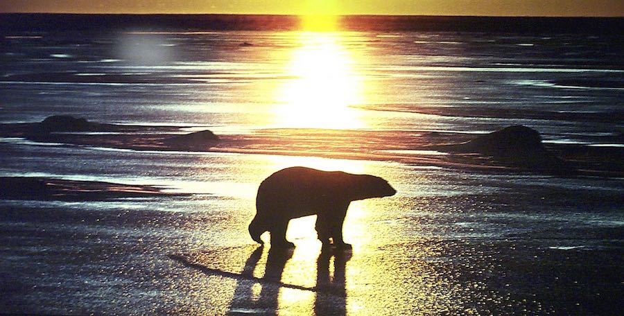 The iconic polar bear: Climate Change and the Arctic