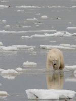 "Shrinking sea ice forces Polar Bears into ""marathon"" swims as population declines"
