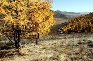 Larch forest Mongolia - FAO