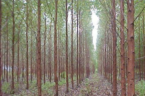 Mexico's First Wood Fiberboard Plant Highlights Controversy Over UN FAO Definition of Forests