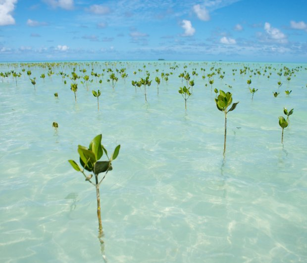 Mangroves threatened by climate change
