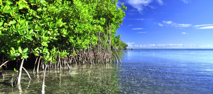 Mangroves: vital and vanishing